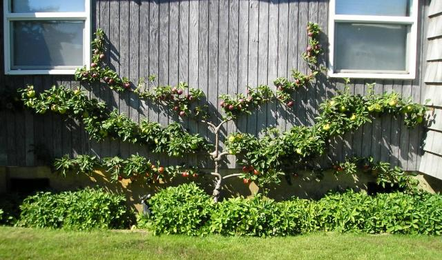 Fan-training a Fruit Tree Against a Wall