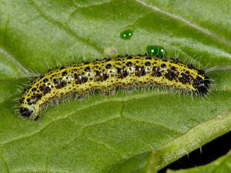 cabbage_white_caterpillar_pest_4429
