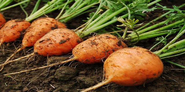 Carrot and garden (640 x 320)