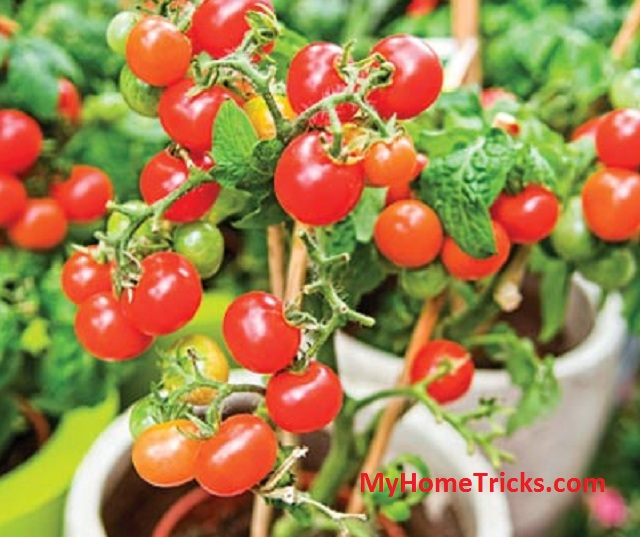 Directions for growing tomatoes in pots