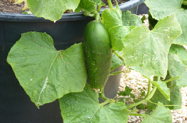 grow cucumber in containers